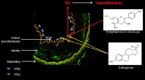 Polyphénols endothélium paroi vasculaire