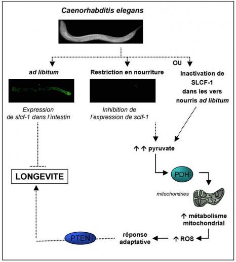 cp_solari nutrition c elegans