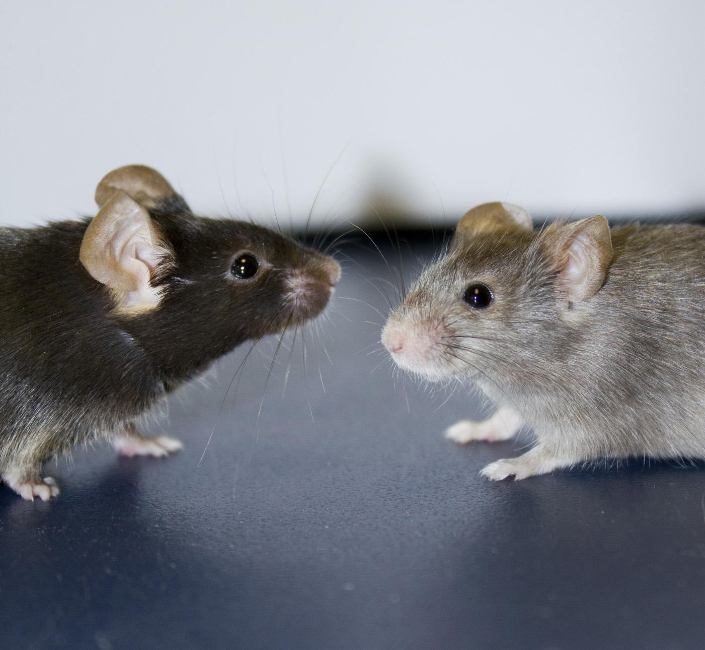 souris blanches et noires