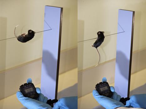 Mesure des fonctions sensori-motrices de la souris à l'aide d'un test comportemental de reflexe de traction