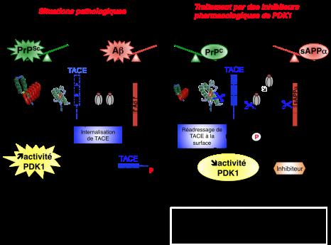 schéma prions alzheimer