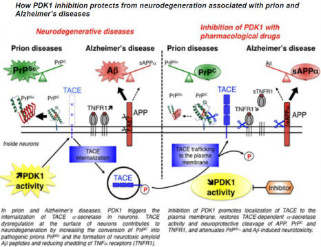 schéma Prions Alzheimer en