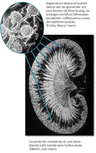 image-rein-glomerules