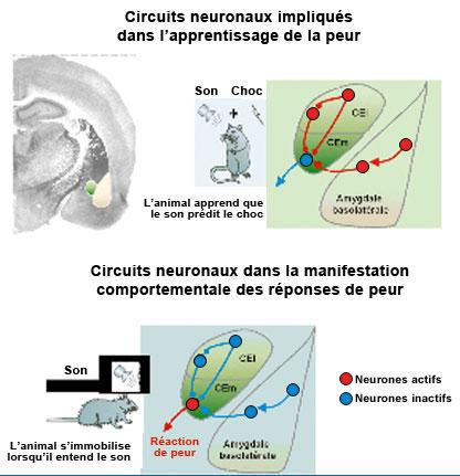 Circuits neuronaux et peur