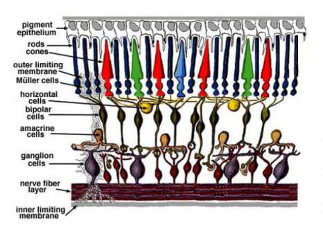 Schéma simplifié de l'organisation de la rétine