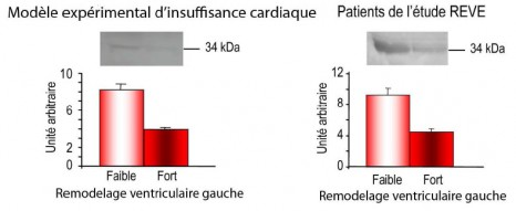 fig2_pinet Tropopine T remodelage ventriculaire