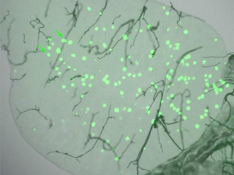 Paludisme et gène TEP1