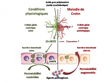 Schéma maladie de Crohn