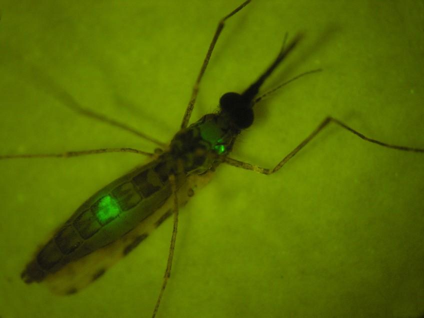 Anopheles stephensi infectée par Plasmodium berghei