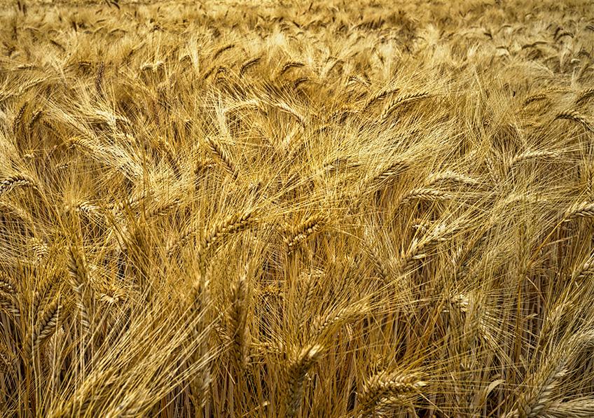 Champ de blé, Le Talais, France